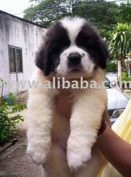 Saint Bernard Puppies For Sale In Mumbai @ 9320185151 - Buy Saint Bernard  Puppies For Sale Product on Alibaba com