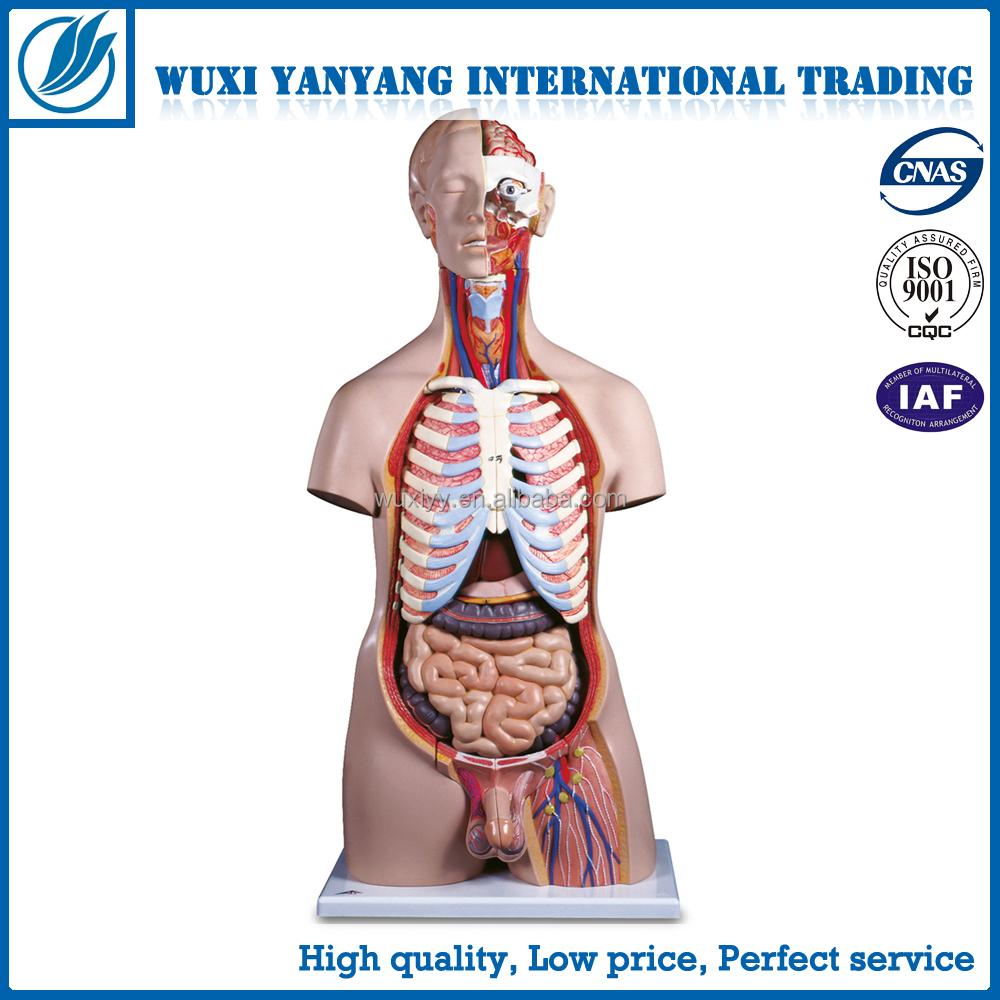Plástico torso humano anatomía, 85 cm modelo torso masculino 32 ...