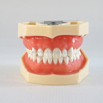 China Medical Anatomical Model Soft Gingiva 28 Teeth Standard Dental ...