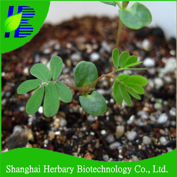 Mimosa Pudica Shy Sensitive Plant Pink Flower Garden Grass - Buy Shy  Sensitive Plant Seeds,Pink Flower Seeds,Garden Seeds Product on Alibaba com