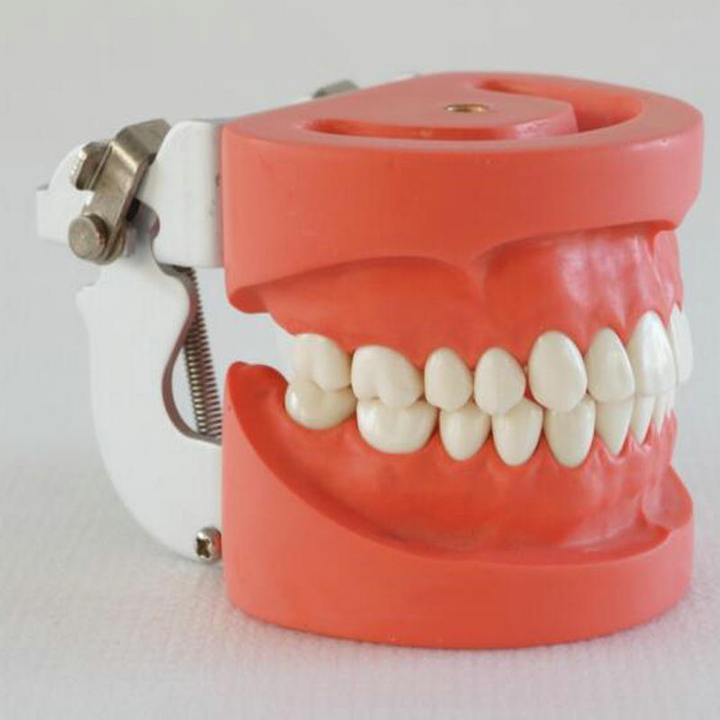 Standard Dental Teeth <strong>Model</strong> with 28 Teeth and FE Articulator