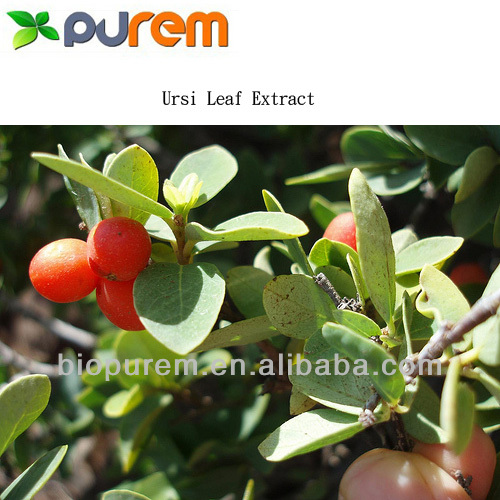 Uva Ursi Leaf Extract 10%~90% Ursolic Acid