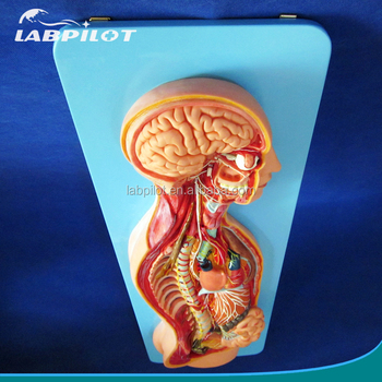 Human Anatomical Automatic Nervous System Modeltorso And Organs