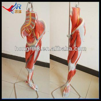Pierna Médica Músculos Con Vasos Y Nervios,Modelo De Los Músculos ...
