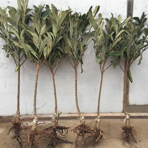 Tropical Fruit Tree Low Price Loquat