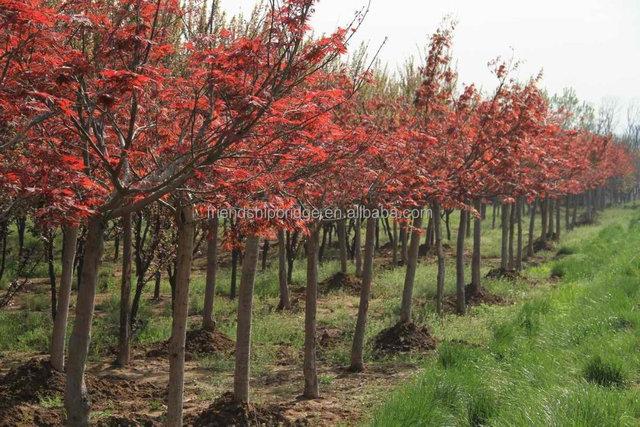 Purple Japanese Maple Tree Acer Palmatum Cv Atroparpureum Buy