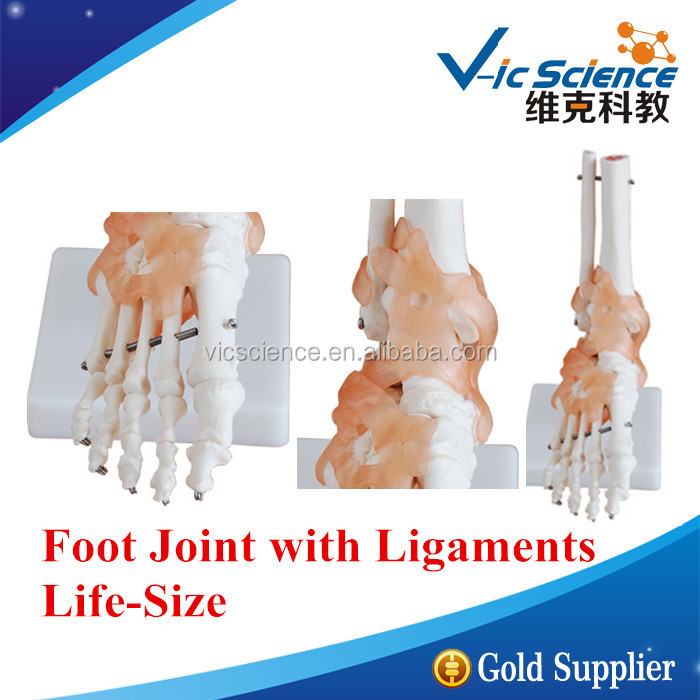 Life-Size Foot Joint with Ligaments Model/Foot Joint/Joint Model