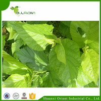 High-quality mulberry leaf extract herbs for diabetes