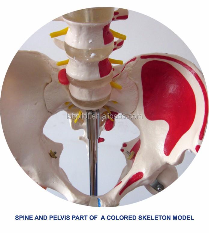 Nuevo Estilo Modelo De Columna Vertebral Con Pelvis Anatómica Y ...