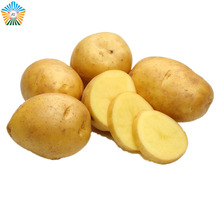 Yellow color thin surface fresh russet potato with holland brand