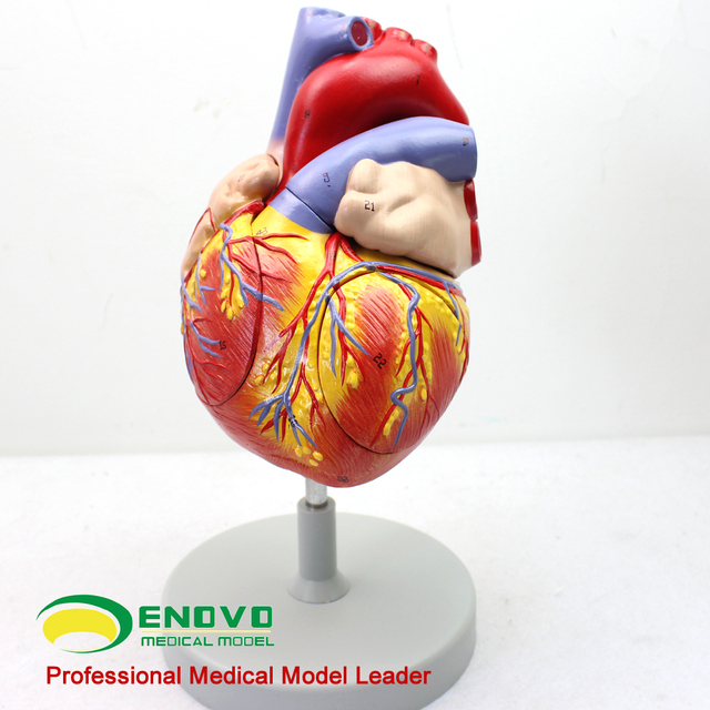 Buy Cheap China Heart Model Anatomic Products Find China Heart