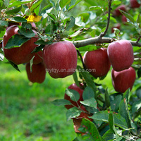 Chinese Fruit Apple Red Delicious Apple with Best Price at Wholesale
