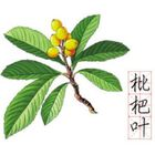 loquat leaves anti-cough green plant