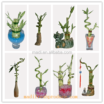small lucky bamboo plant gift for business man