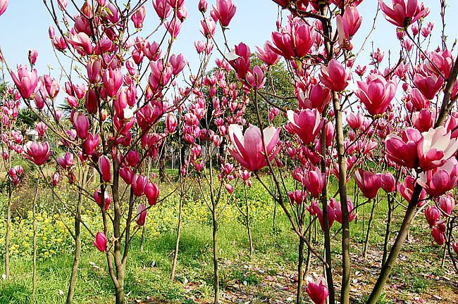 high germination rate purple magnolia seeds mulan tree. Black Bedroom Furniture Sets. Home Design Ideas