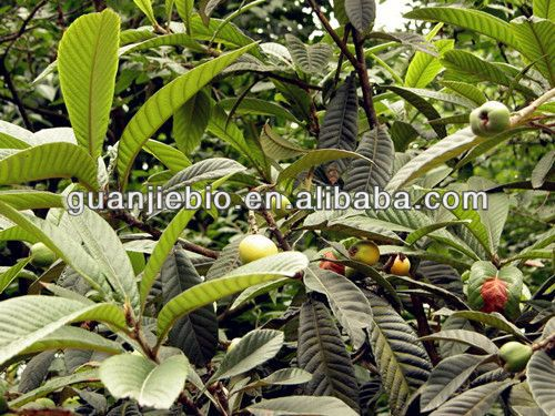 Loquat Leaf Extract 98% Ursolic Acid /cas No:77-52-1