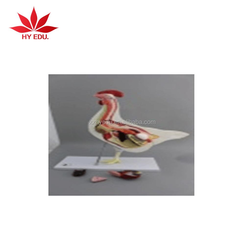 High Quality Animal Anatomy Chick Anatomy Model Plasticized ...