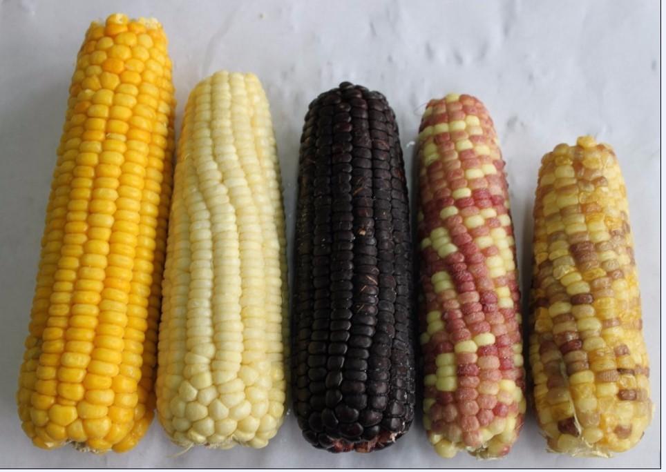 New crop high quality HALAL certified IQF frozen sweet corn kernels cob cut whole hot sale
