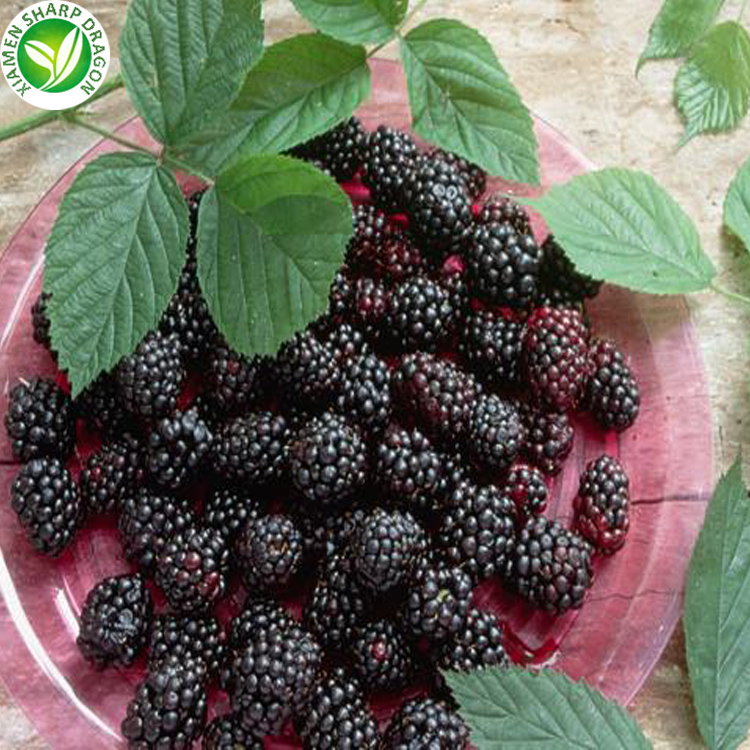 IQF Cheap price frozen mulberry fruit