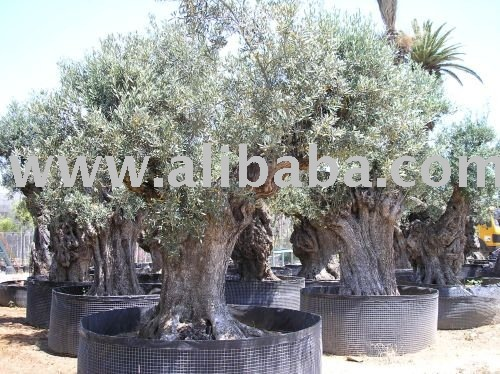 Natural Olives tree