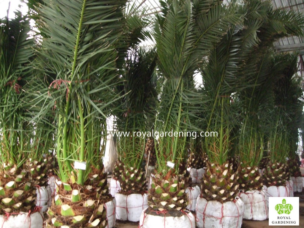 Phoenix Canariensis Palm Tree Nursery Landscaping Trees