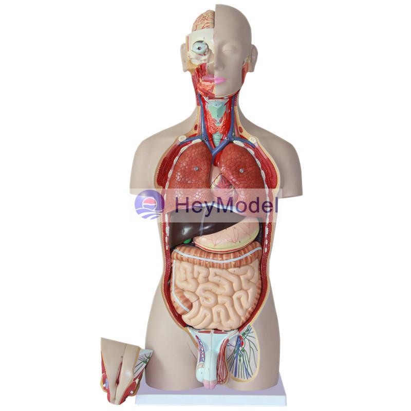 Medical Human Body Torso Model Medical Human Body Torso Model