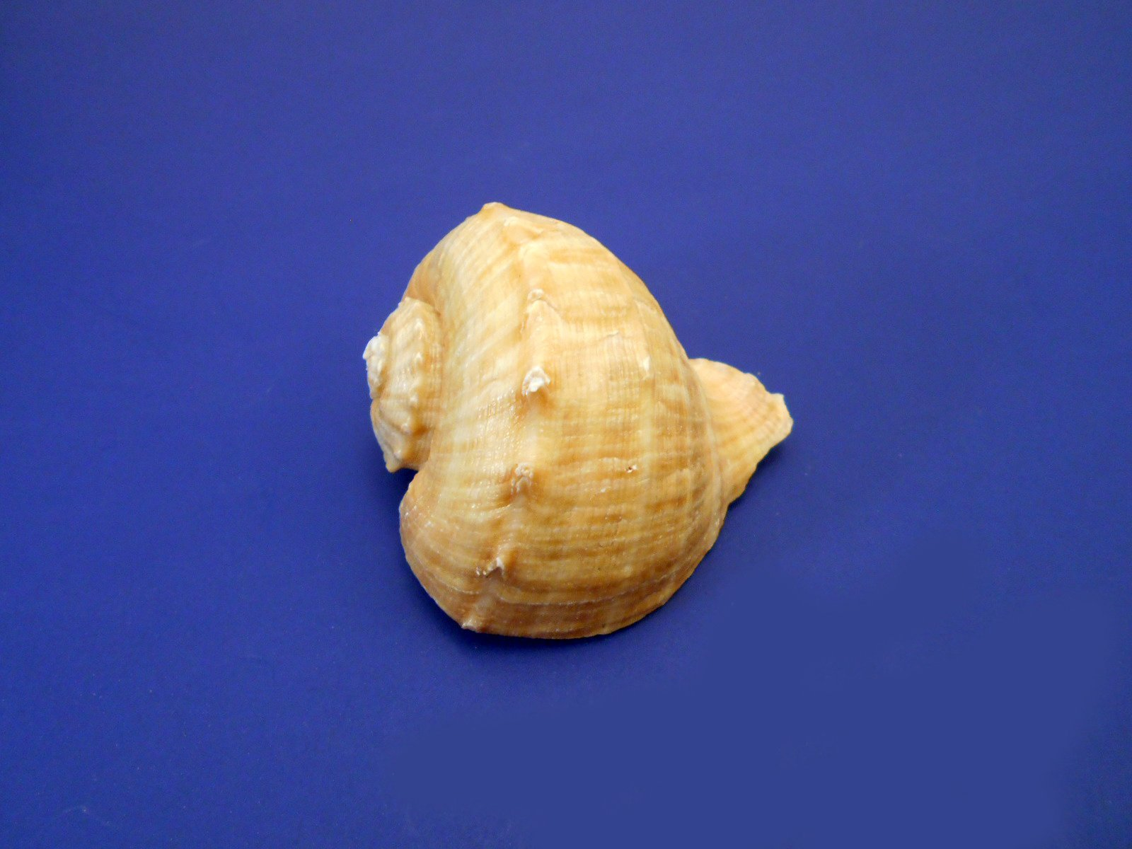 "Florida Shells and Gifts Inc. 6 Large Rapana Whelk Shells Seashells 2"" - 3"" Sea Shell Hermit Crab Beach Nautical"