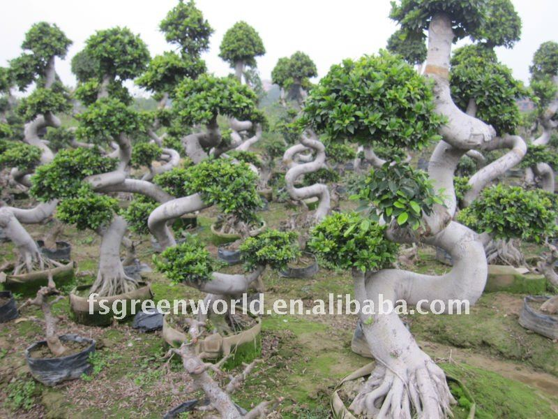 Ficus microcarpa big S shape nursery