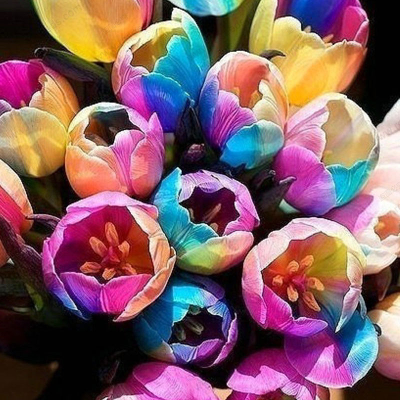 Rainbow tulip seeds potted tulip flower seeds flower seeds of rare species 100 particles bag