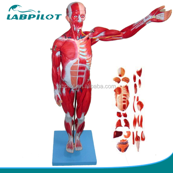 27 Parts Full Body Muscles,78cm Anatomical Muscles With Internal ...