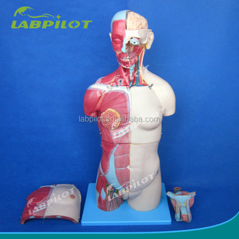 Advanced Human Anatomy Torso Model With Muscles And Organs,Head And ...