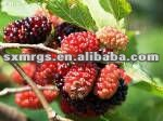 U V Natural mulberry extract Powder