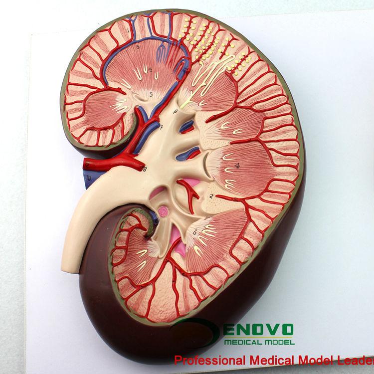 Kidney06 (12435) Modelo De La Ciencia Médica Sección Del Riñón,Y ...