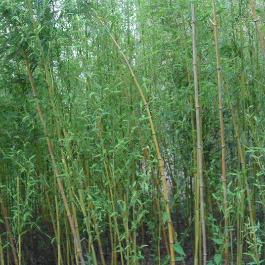 Gemeinsame China Bamboo Seeds, China Bamboo Seeds Manufacturers and Suppliers @WI_96