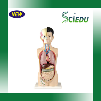 65 Cm Kinder Torso Modell Mit 9 Teile Des Menschlichen Anatomie ...