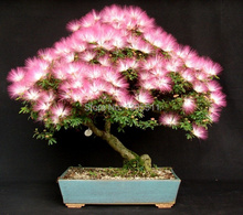 $0.99get 5 rare flower bonsai seeds Albizia Flower  Mimosa Seeds Silk Tree  bonsai tree for flower potted plants
