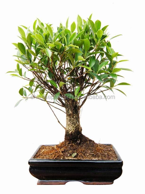 Ficus Retusa,Taiwan Ficus,Golden Gate Ficus,Mini Bonsai 15cm Ball ...