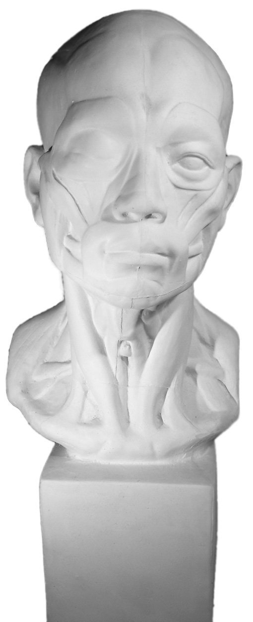 """Torino GES-141 Life Size Bust of Anatomical Head Plaster Cast Mannequin, Great for Artists, Facial Anatomy, Artistic piece, Color: White, Size: 11"""" X 11"""" X 27"""""""