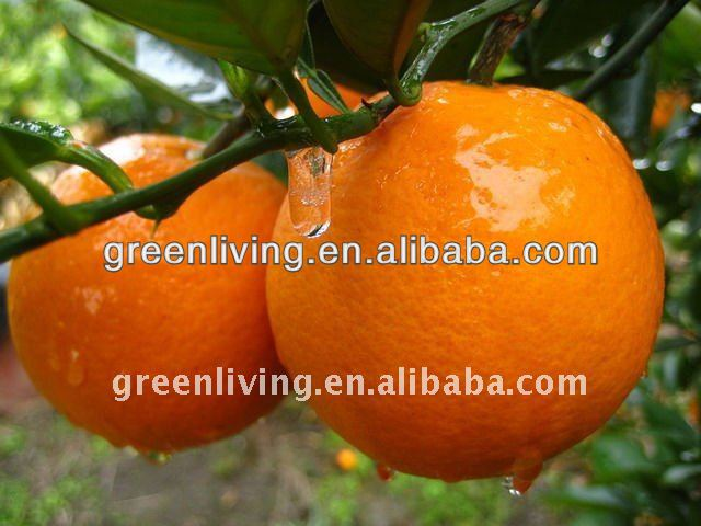 2013 fresh new crop navel orange