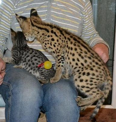 PURCHASING YOUR AFRICAN SERVAL CAT