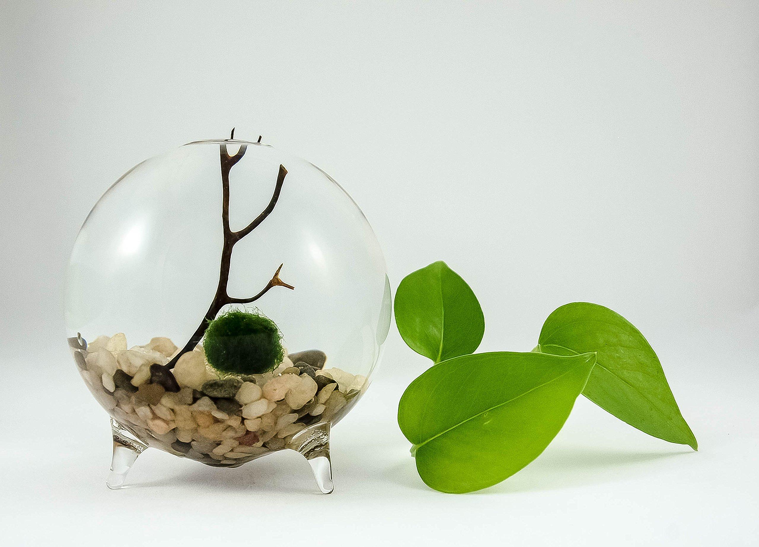 Buy Marimo Moss Ball Terrarium Aquarium Zen Garden Globe In Cheap Price On Alibaba Com
