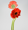 Wholesale Premium Coco Peat Grow Bags - Gerbera Flowers Gerbera Flower On Discount weddings decoration from China