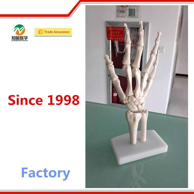 Office Supplier Plastic Teaching Human Hand Anatomy Model - Buy ...
