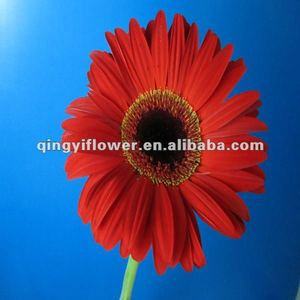 Wholesale price gerbera cut flower decoration natural gerbera flower