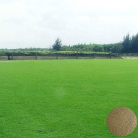High Quality Axonopus Compressus Seeds Used As Lawn Grass Seeds Or Turfgrass Seeds For Planting