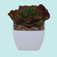 Decorative plants tropical succulent plant