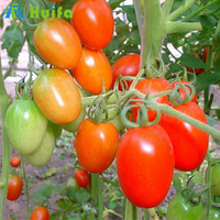 Economical Tunnel Tomato Production Greenhouses