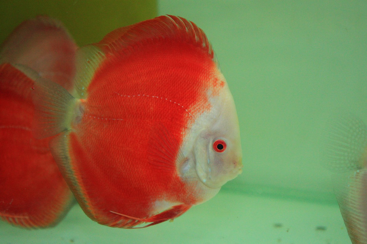 Philippines Discus Fish, Philippines Discus Fish Manufacturers and ...