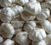 Jinxiang Fresh Garlic 2011 Corps