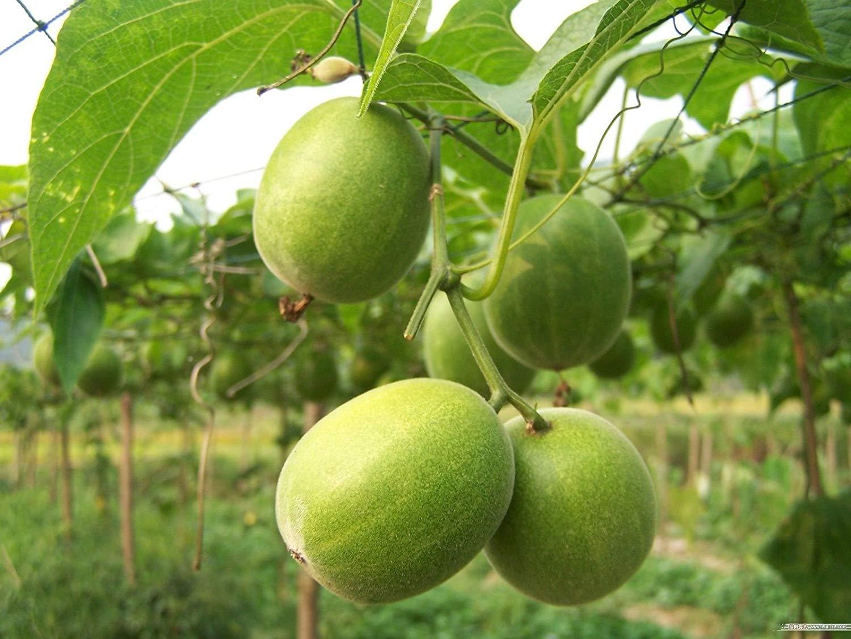 Luo han guo, Mormodica grosvenori, Vine Seeds (Natural sweetener, Medicinal) (4)